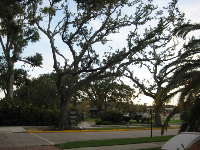 Trees damaged by buildling of the Sculpture Garden and Pavilion of the Two Sisters. This kind of die-off is the result of failure to properly protect and care for these live oaks. This is the future if development continues without stronger protections and procedures.