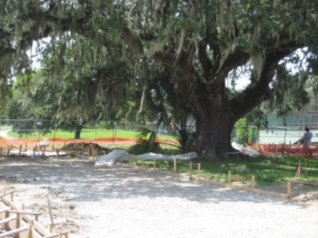 City Park oak being damaged by construction of concrete forms for Great Lawn project.
