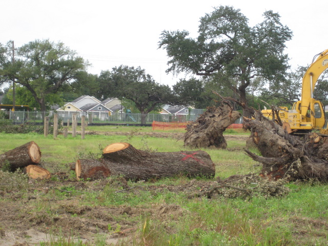 One of the more than 30 mature oaks destroyed by the redevelopment of the Lafitte Projects on Orleans Ave.